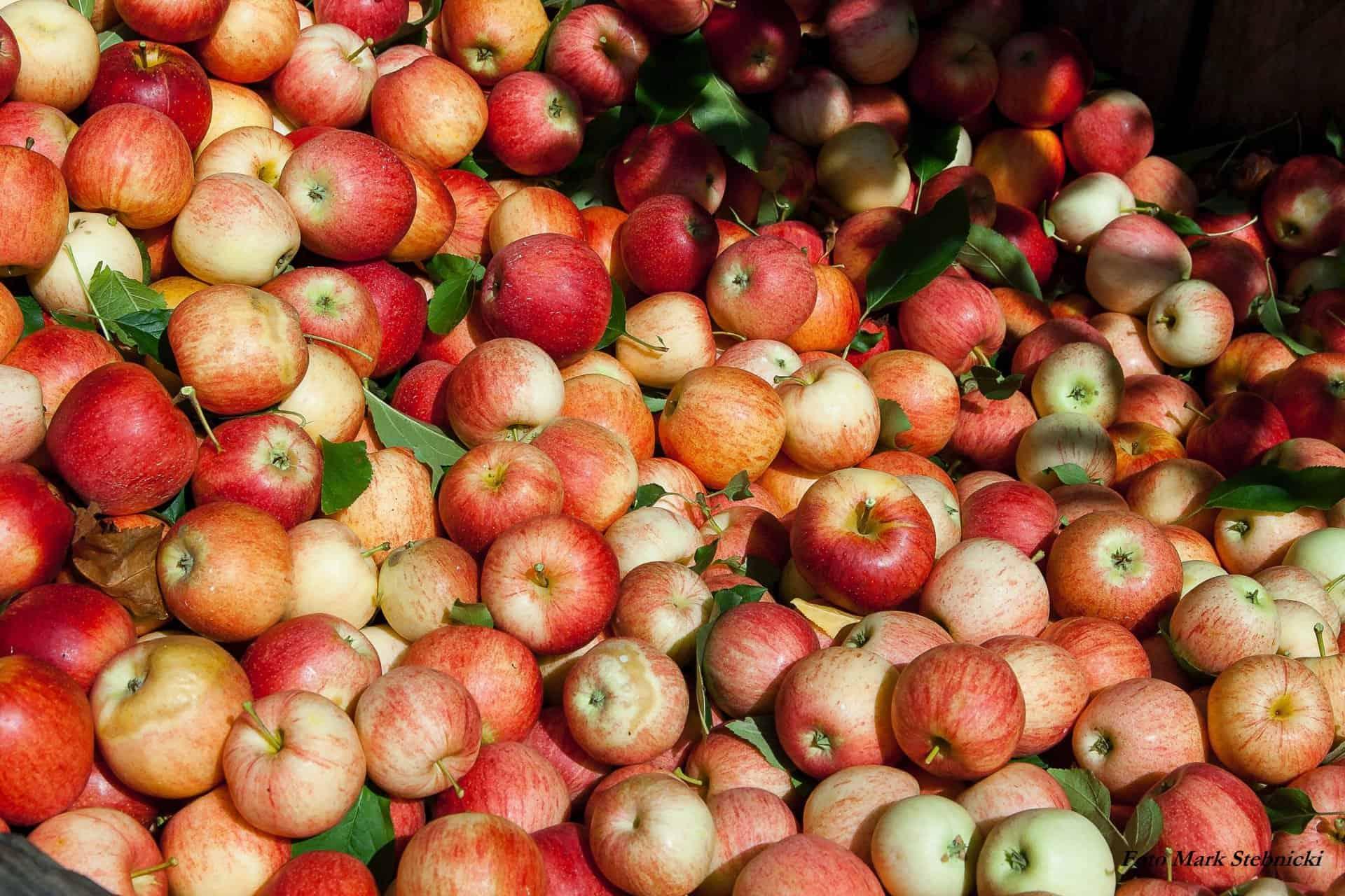 Saftpresse, Apfelernte