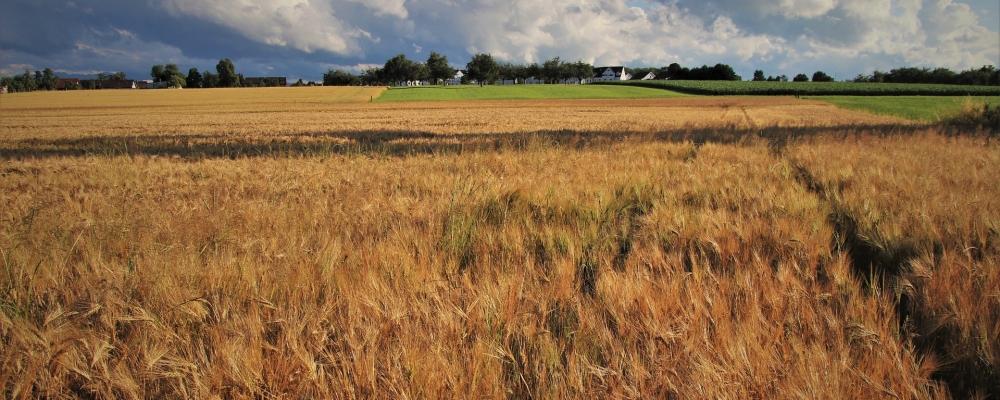 wheat-5354554_1920